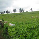 Cueillette du thé par des ouvriers