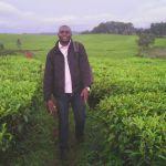 Champs de thé à l'ouest Cameroun